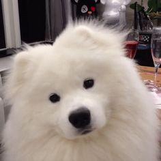 Fluffy samoyed dog shaking his head http://ift.tt/2t8ZVAW