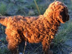 Labradoodles of Montana is dedicated to the breeding and the sale of miniature/medium australian labradoodles. See our website to see what puppies are for sale. Australian Labradoodle, Labradoodles, New Puppy, Montana, This Is Us, Puppies, Mini, Dogs, Red