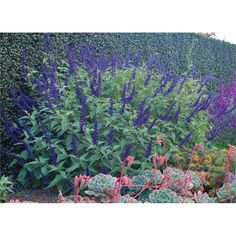 140mm Salvia Anthony Parker Style Solutions Range