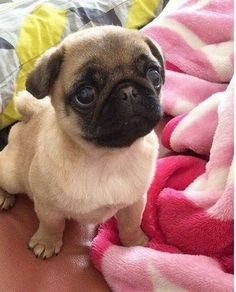 here are some adorable mug shots of adorable pugs. we accept photos of your pugs. pugs in costumes. pugs in cartoon. pugs in videos. pugs in love. mug pug. Cute Pug Puppies, Black Pug Puppies, Cute Dogs, Dogs And Puppies, Doggies, Terrier Puppies, Puggle Puppies, Cute Baby Pugs, Boston Terrier