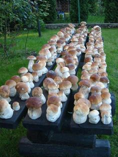grzyby na Stylowi. Getting Your Mushrooms to Bud Can Be the Key to Growing Mushrooms Oh, bili hrybochky (white mushrooms)! Garden Mushrooms, Edible Mushrooms, Growing Mushrooms, Wild Mushrooms, Stuffed Mushrooms, Porcini Mushrooms, Home Vegetable Garden, Tomato Garden, Garden Tomatoes