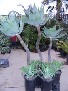 Agave attenuata blue - plants at nursery Outdoor Cactus Garden, Outdoor Flower Planters, Outdoor Flowers, Outdoor Gardens, Indoor Gardening, Blue Plants, Tropical Plants, Tropical Decor, Cacti And Succulents