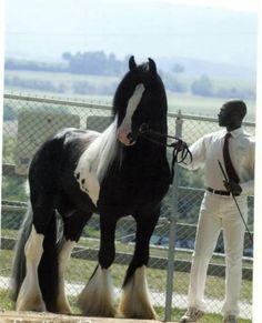 Tobiano Gypsy Vanner Stallion, G. G. L Divo