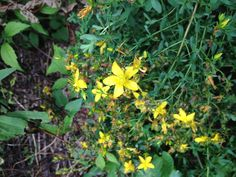 St. Joan's/John's wort is prepared with oil or alcohol.  Tincture of St. Joan's wort not only lends one a sunny disposition, it reliably relieves muscle aches, is a powerful anti-viral, and is my first-choice treatment for those with shingles, sciatica, backpain, neuralgia, and headaches including migraines. The usual dose is 1 dropperful  as frequently as needed.  I use it as a sunscreen.  St. Joan's wort does not cause sun sensitivity, it prevents it.  Eases sore muscles, too. - Susun Weed