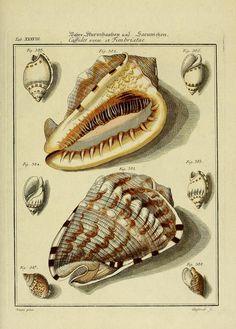 Antique Illustration, Botanical Illustration, Science Illustration, Mushroom Art, Friedrich, Vintage Fishing, Shell Art, Fauna, Gabriel