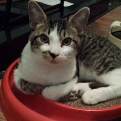 """Adopted!!! Ernie could easily be described as """"angelic"""" by his foster mom  His purrsonality is so chill and laid back, he oozes sweetness. He follows his foster mom from room to room and just wants a lap (or computer keyboard) to snuggle on."""