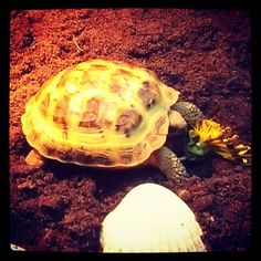 Here's a Members Horsefield about to chomp a dandelion! Dandelion's are an awesome staple food by the way to feed your pet! Post your pet's pics in the comments! Russian Tortoise Care, Food Staples, Tortoises, Animal Pictures, Dandelion, Turtle, Community, Pets, Awesome