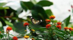 butterfly free 1920x1080