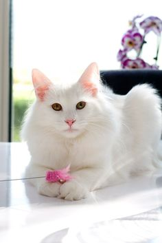 Gorgeous Long-Haired White Cat | from gabytaangeles.tumbler.com