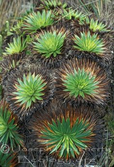 Isoëtes novo-granadensis a quillwort