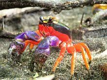 Halloween crab (mouthless crab) from the Gecarcinidae family Fast Crazy Nature Deals. Colorful Animals, Cute Animals, Animals Sea, Colorful Fish, Unique Animals, Photoshop, Halloween Crab, Beautiful Creatures, Animals Beautiful
