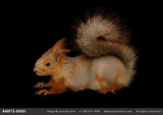 Eurasian red squirrel doing his sphinx-impersonation