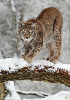 beautiful-wildlife:  Lynx by Norbert Kappenstein