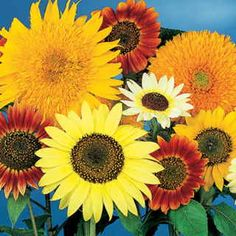The Van Gogh Mix contains a full range of Sunflower sizes, colors, and forms on tall plants with bright green foliage. You'll get singles, doubles, small and large in a color range that spans from cream to lemon-yellow, gold, orange, bronze, red, and burgundy. Park Seed