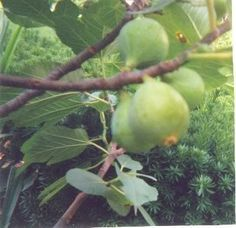How to grow and take care of fig trees in a pot