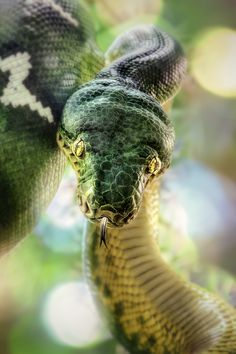 Emerald Tree Boa I always loved this snake their so beautiful Reptiles Et Amphibiens, Mammals, Beautiful Creatures, Animals Beautiful, Cute Animals, Emerald Tree Boa, Beautiful Snakes, Alligators, Geckos