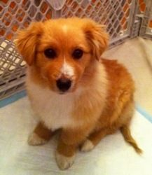 Corgi/collie mix on PetFinder. So fluffy!
