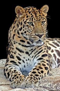 ...xx..tracy porter...poetic wanderlust...-Amur Leopard II by ~carterr .