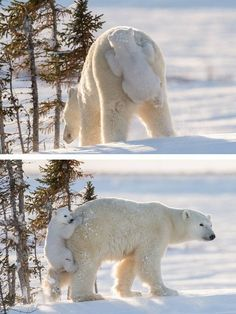 Along for the ride. Polar bears.