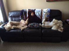 Poodle couch , Lorenzo  and Rossi  resting on a rainy day.