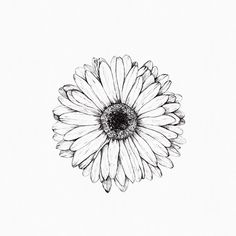 Gerbera drawing, inkylines, May 2017. #adrawingaday