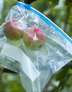 Bag fruit on the tree to protect it from pests. The best thing though is those little nylon socks you get when trying on shoes. Bribe a shoe salesman for a box, or check with your local master gardeners/arborists association, mine sells them for $16 a box. You can reuse them too.