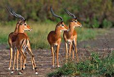 Impala antelope are so beautiful.
