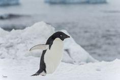 creatures-alive:  Adélie penguin by Christian Sanchez...