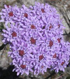 Lilac powderpuff - Tours du Cap