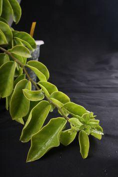 Pereskia aculeata var. rotundifolia