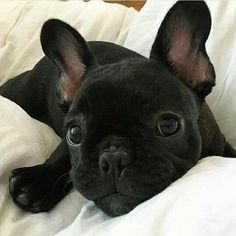 I love it when I'm the reason you Smile , sweet French Bulldog Puppy