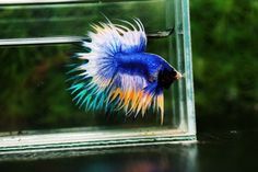 What the difference between crowntail with King crowntail - Nice Betta Thailand.CO.,LTD The Three Crowns, Betta Fish Types, Fish For Sale, Siamese Fighting Fish, Rare Species, Fish Farming, Kings Crown, Different, This Is Us