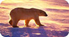 Polar Bear Symbols: Skill Magic Power Wisdom Strength Strategy Cunning Survival Initiation Isolation Transition Extremes Humanity Vigilance Endurance Playfulness Compassion Adaptability Independence Introspection Motherhood Determination Contemplation
