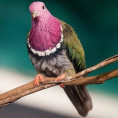 Pictures of Pigeons and Doves: Pink-Headed Fruit-Dove
