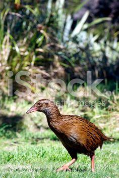 Weka Bird or Maori Hen, New Zealand royalty-free stock photo