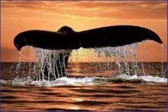 Maui Whale Watching - Lahaina. MAUI