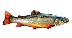 """High quality, die cut decal. Approximate Dimensions: 7.53"""" x 2.46"""" Show people you can put fish in the boat with this brook trout decal. - Easy to Apply: No bubbles, no mess - Resists Weather, fading,"""