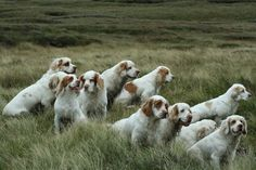 The Clumber Spaniel was bred in 19th-century Britain for game tracking and retrieving.  It is named after the Duke of Newcastle's home at Clumber Park, where the first examples were supposedly sent by the Duc de Noailles during the French Revolution for safekeeping.  Clumbers typically work as a group, leisurely nudging animals toward hunters.  Although laid back, a truly bored Clumber can become destructive.  They are generally good with children, suited to urban living, & able to handle…