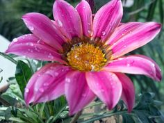 Aster: Birth Flower of September
