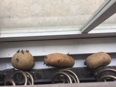Berkeley students sprouting potatoes for planting.
