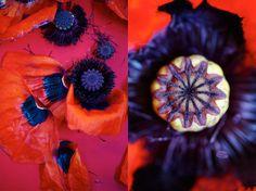 Transvaal daisy - Chrysanthemum-B - art by Makoto Murayama - courtesy of Frantic Gallery