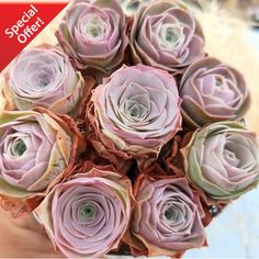 Greenovia Aurea El Hierro 'Pink Rose Succulent' or commonly known as Pink Mountain Rose or Aeonium Mountain Rose are very unique and rare among succulent lovers. Enjoy worldwide shipping now. Buy 2 Get 1 FREE! Pink Succulent, Succulent Care, Succulent Plants, Succulent Gardening, Indoor Succulents, Succulent Arrangements, Succulent Terrarium, Garden Soil, Garden Art
