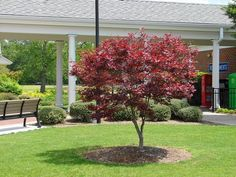Next weekends project, Planting in honor of my grandfather, I cant wait------Japanese Maple Trees - Bloodgood Japanese Maple Tree Plants Under Trees, Small Trees, Trees And Shrubs, Bloodgood Maple, Bloodgood Japanese Maple, Patio Trees, Garden Trees, Planting Shrubs, Ground Cover Plants