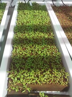 How to Hydroponics Hydroponic Vegetables, Hydroponic Plants, Hydroponics System, Garden Pests, Seed Starting, Growing Plants, Roots, Seeds, American