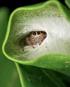 HI THERE: A female polkadot jumping spider (Opisthoncus polyphemus) in her retreat. Photos by Bryce McQuillan who I have been bat hunting with in Pukemokemoke bush Cool Insects, Bugs And Insects, Animals And Pets, Funny Animals, Cute Animals, Beautiful Creatures, Animals Beautiful, Common Spiders, Spider Species