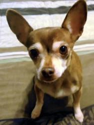 ChiChi is an adoptable Chihuahua Dog in Nepean, ON. Meet Chi Chi the Chihuahua. She is approximately 8 years old, and came to us after her owner passed away. This spunky little girl has some arthritis...