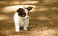 Cute Papillon Puppies Puppy Love. I buy my new pups a treat every week. http://petdesk.net/category/pet-shop/