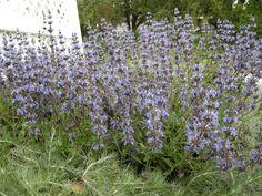 Salvia skylark