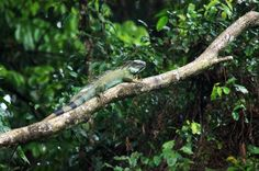 A green iguana stretching out on a branch