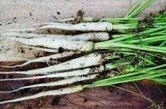 David's Garden Seeds Carrot Lunar White D125CAR (White) 5... https://www.amazon.com/dp/B01D3N8SV8/ref=cm_sw_r_pi_dp_x_XDv0ybATNW8DN